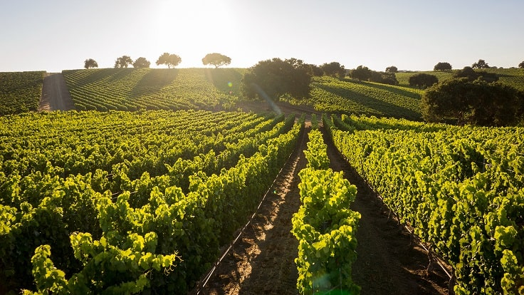 image is showing vineyard in Santa Barbara, California