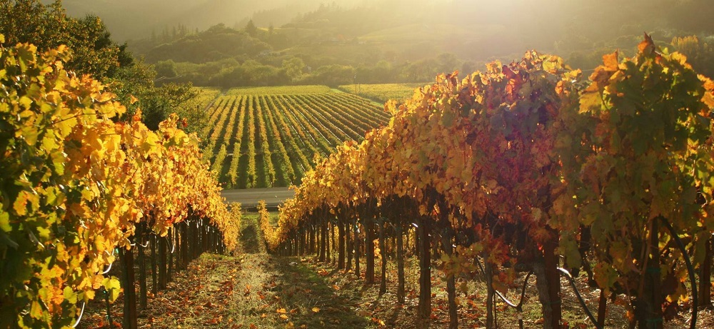 image is showing valley of vineyards in Sonoma, California